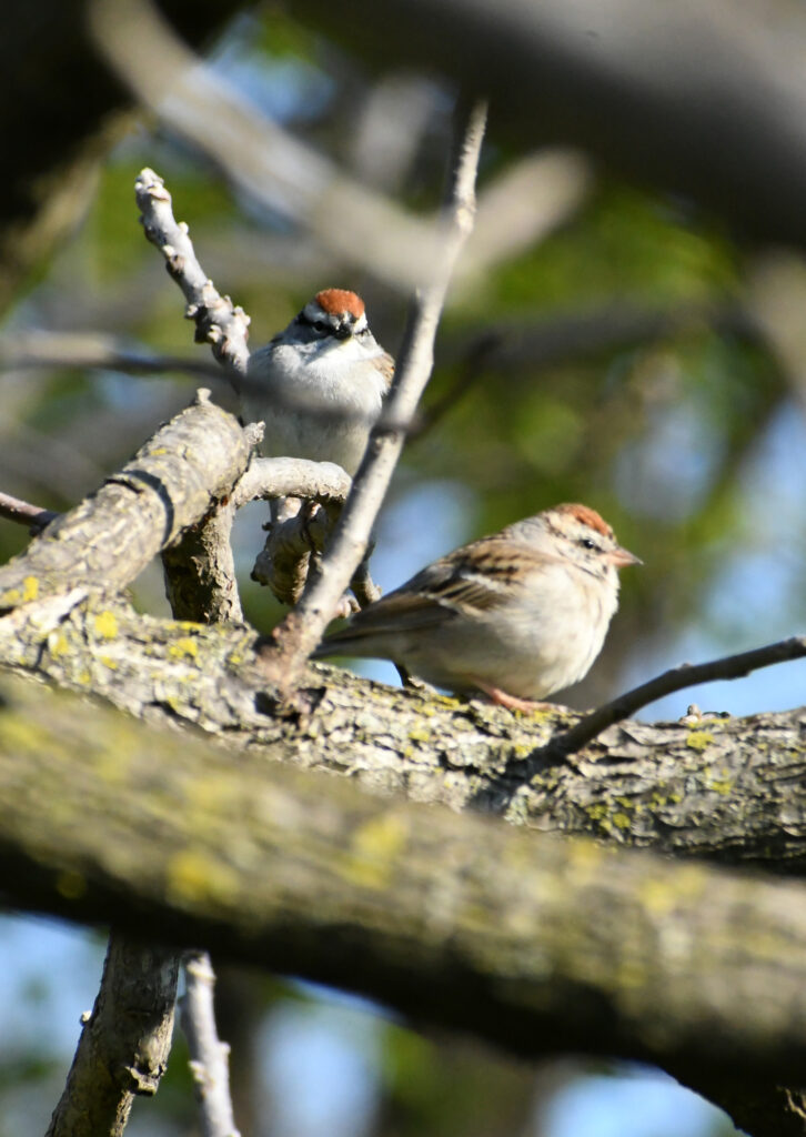Chipping sparrows, Prospect Park