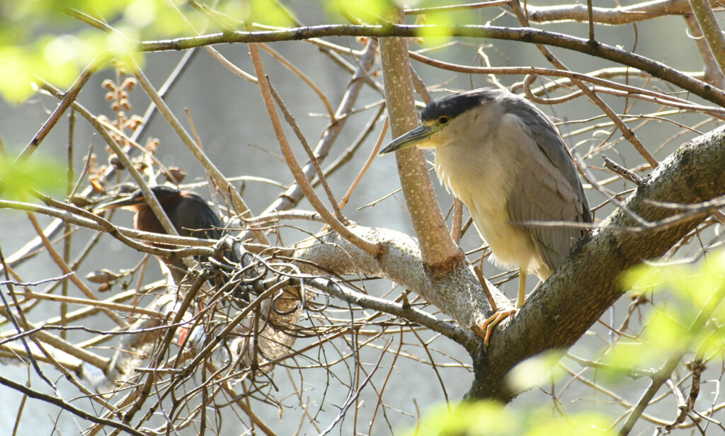 Green heron and black-crowned night heron, Prospect Park