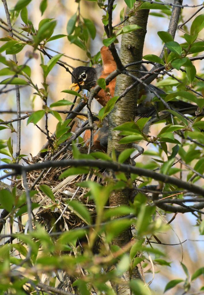 Robin pair, building nest, Prospect Park