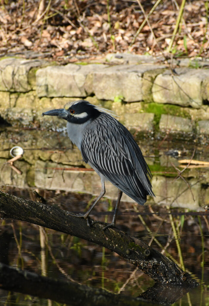 Yellow-crowned night heron, Prospect Park