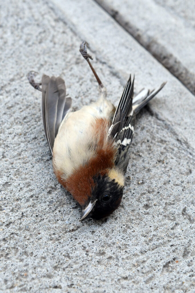 Bay-breasted warbler (male, deceased)