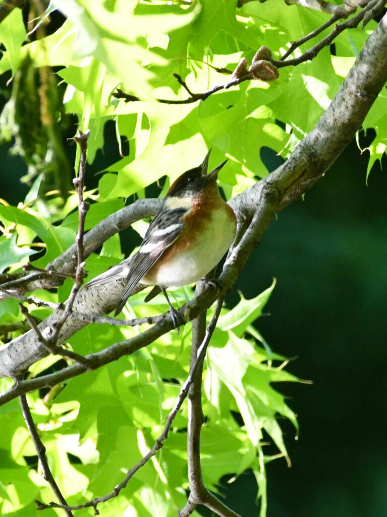 Bay-breasted warbler, Prospect Park