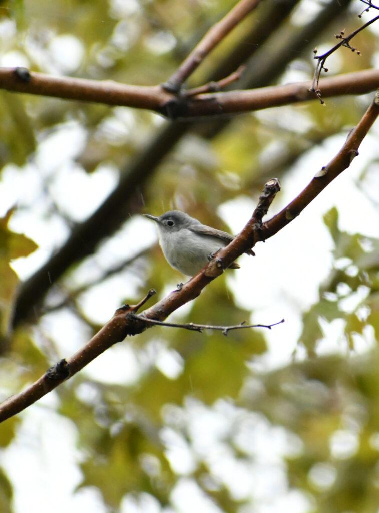 Blue-gray gnat catcher, Prospect Park