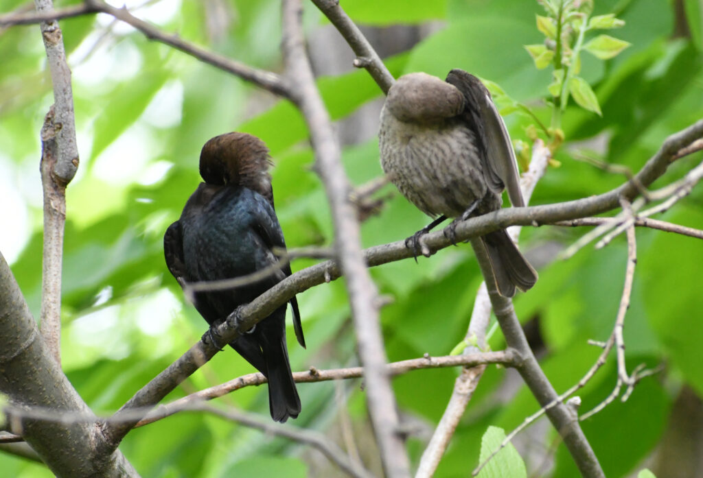 Brown-headed cowbirds (male and female), Prospect Park