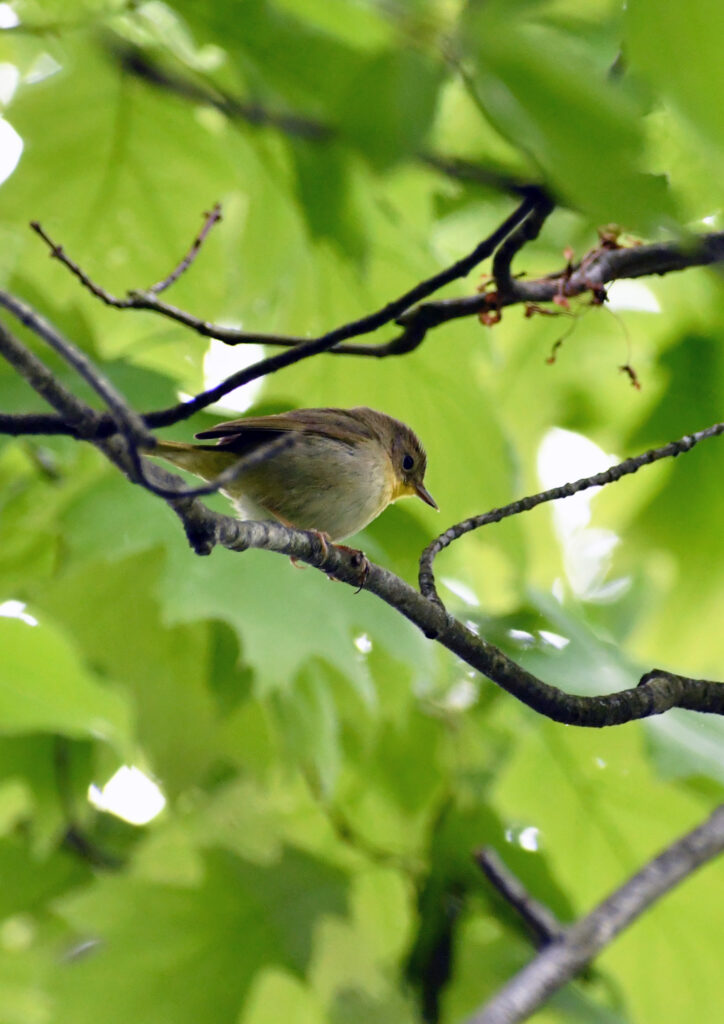 Common yellowthroat (female), Prospect Park