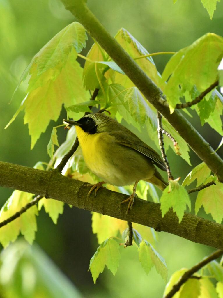 Common yellowthroat, Prospect Park