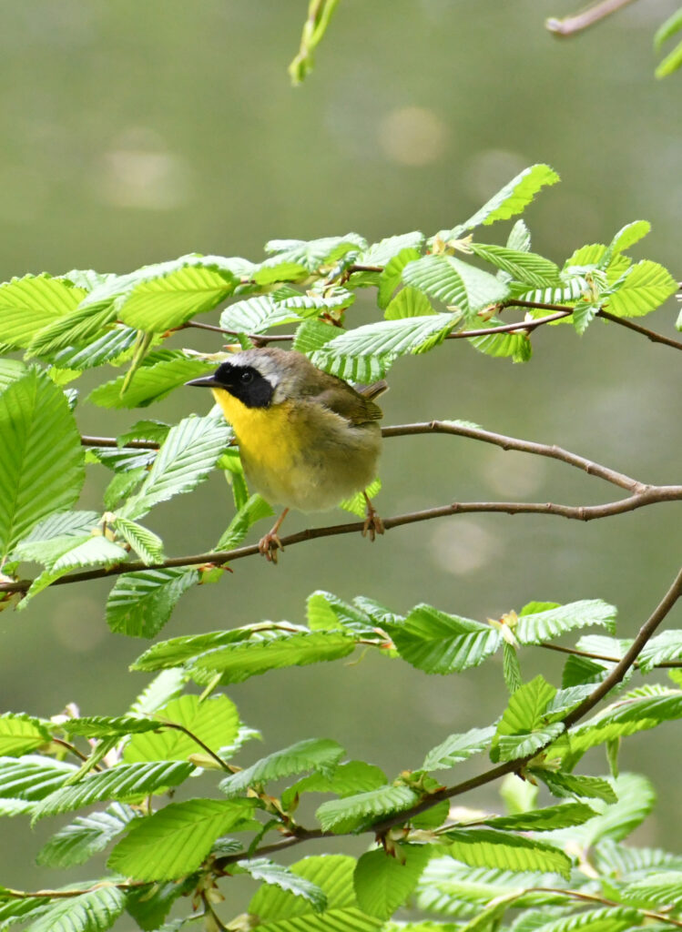 Common yellowthroat, Prospect Park