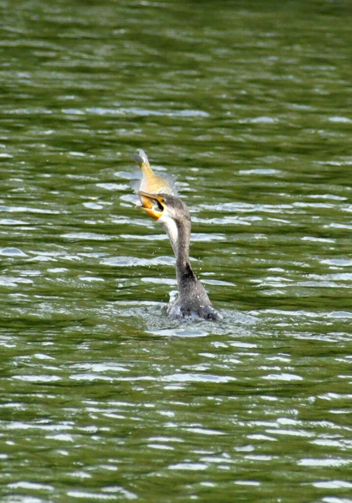 Double-crested cormorant, Prospect Park