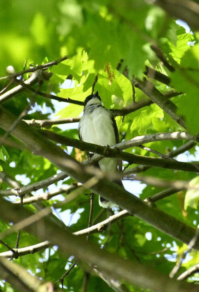Eastern kingbird, Prospect Park