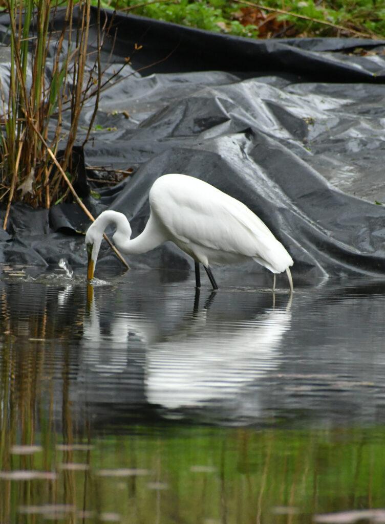 Great egret, Prospect Park