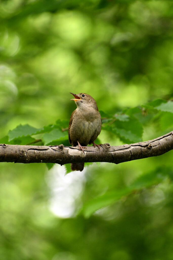 House wren, Prospect Park