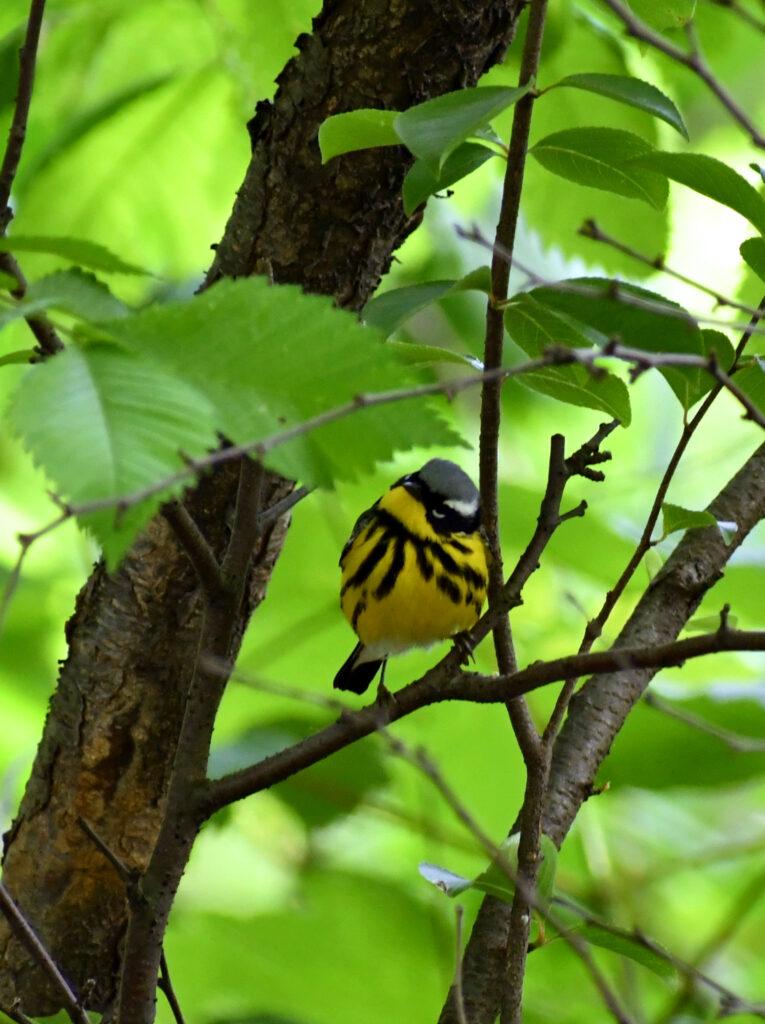 Magnolia warbler (male), Prospect Park