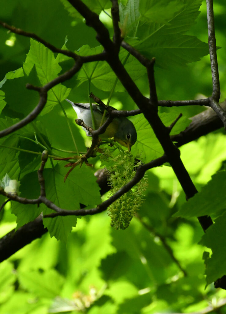 Northern parula in mountain maple, Prospect Park