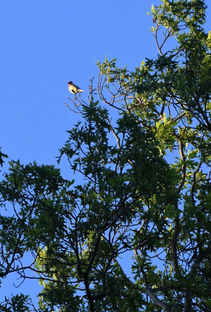 Cedar waxwing, Prospect Park