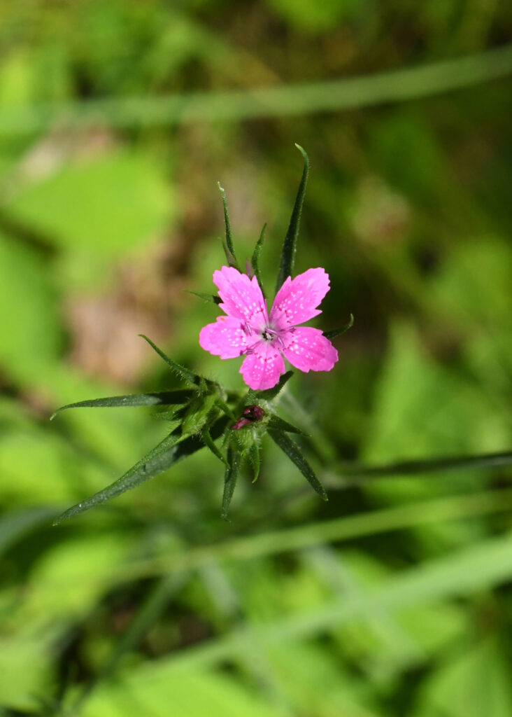 Deptford pink, Rockefeller State Park Preserve