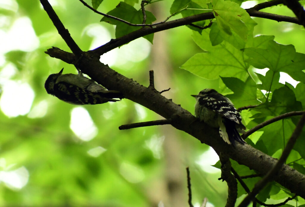 Downy woodpeckers, mother and fledgling, Prospect Park