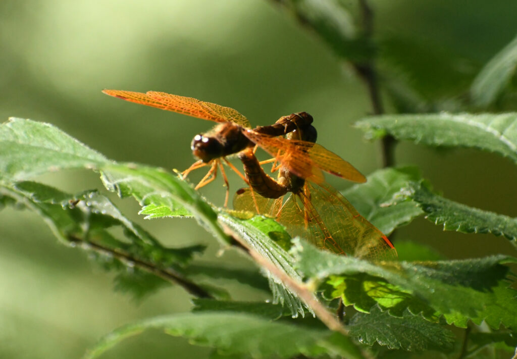 Eastern amberwings, mating, Prospect Park
