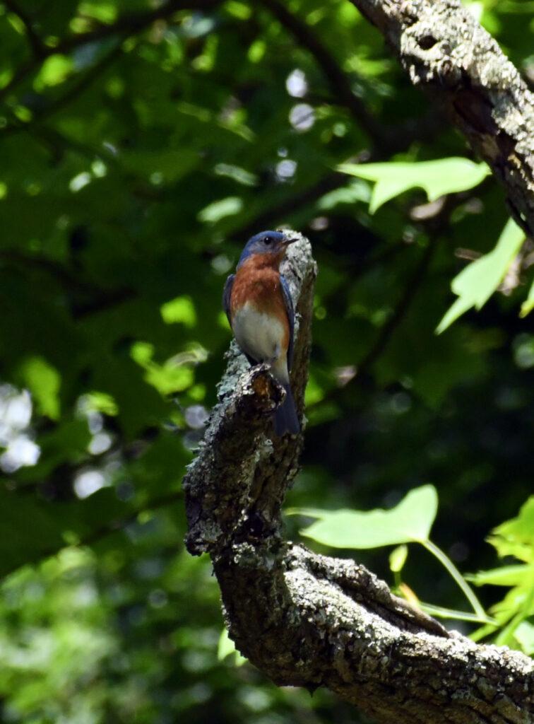 Eastern bluebird, Rockefeller State Park Preserve