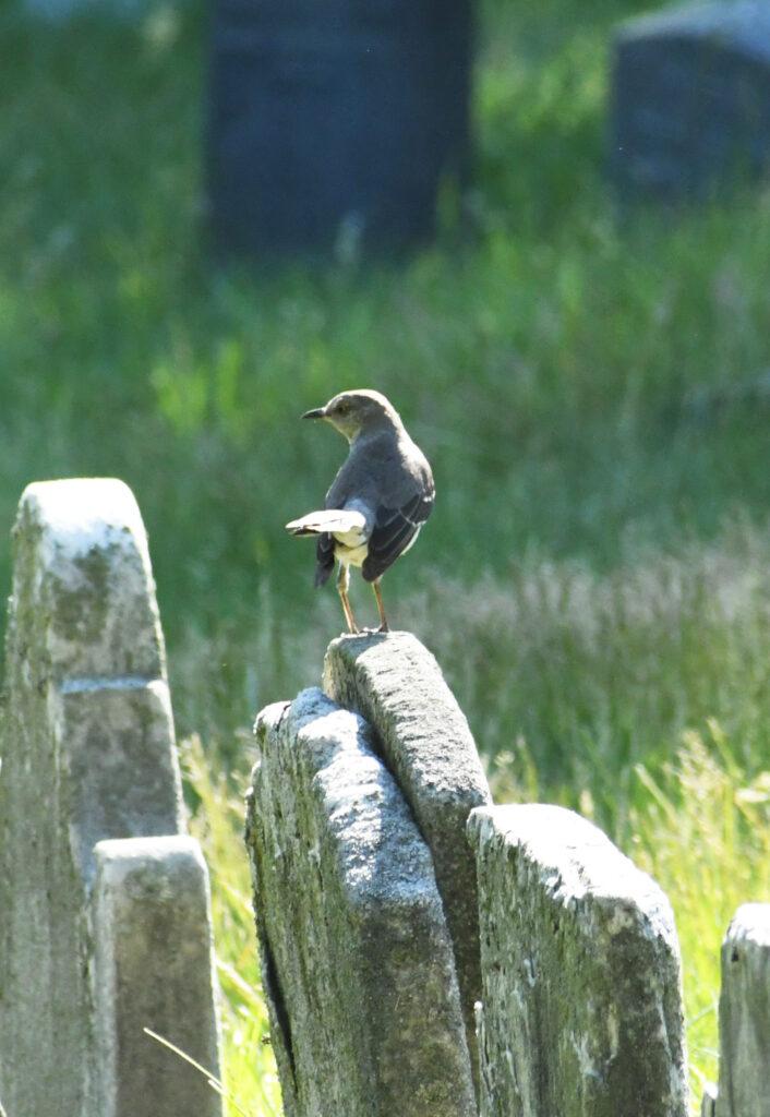 Northern mockingbird, Prospect Park