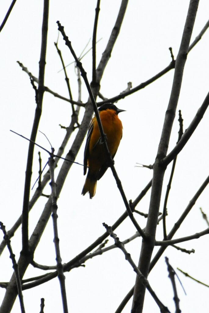 Baltimore oriole, Prospect Park