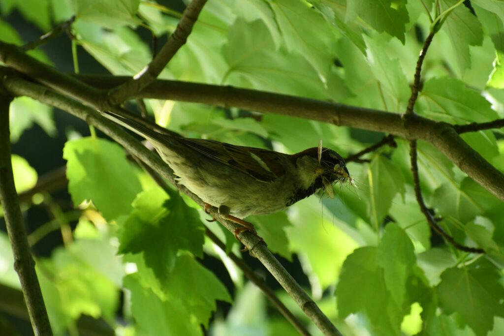 House sparrow, Prospect Park