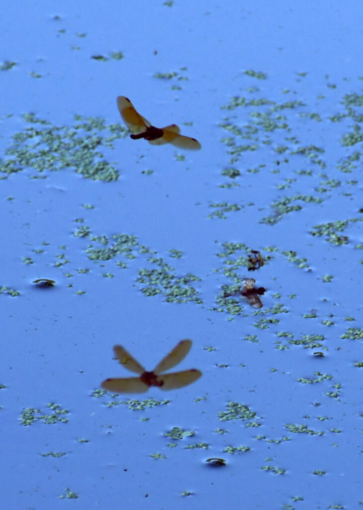 Two dragonflies and one reflection, Prospect Park