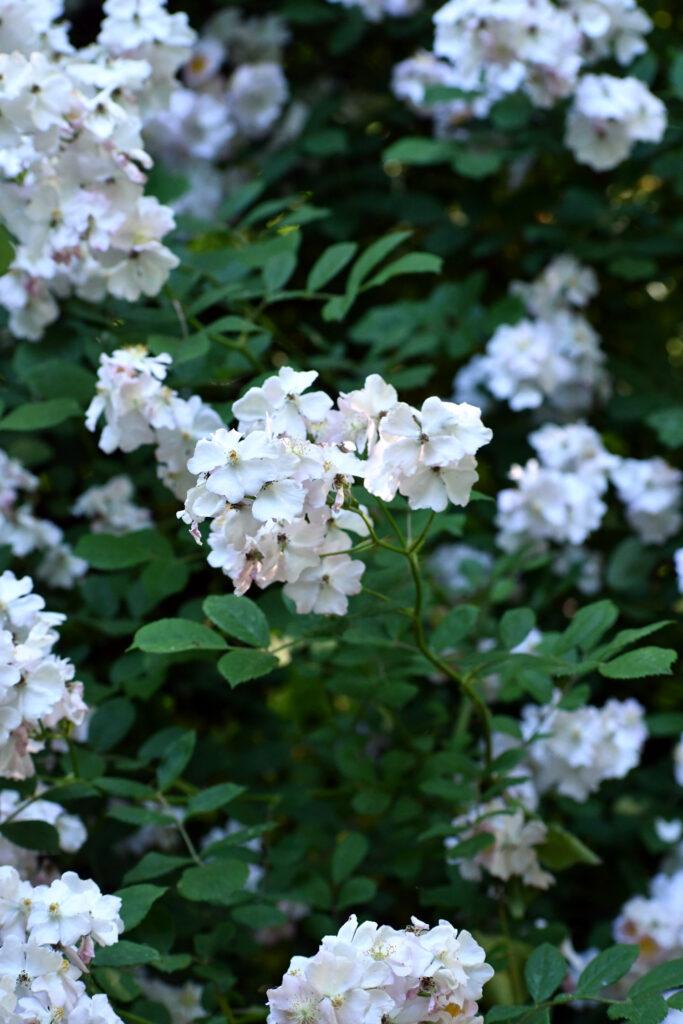 Wild raspberry flowers, Prospect Park