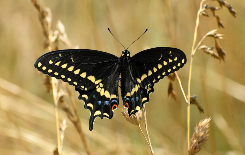 Black swallowtail butterfly, Rockefeller State Park Preserve