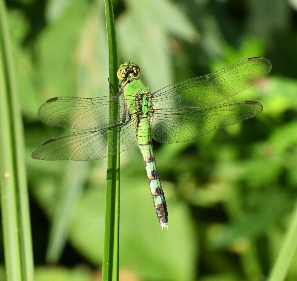 Common green darner, Prospect Park