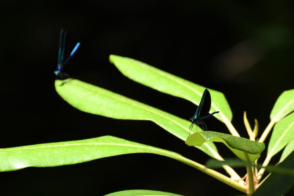 Ebony jewelwings, Rockefeller State Park Preserve