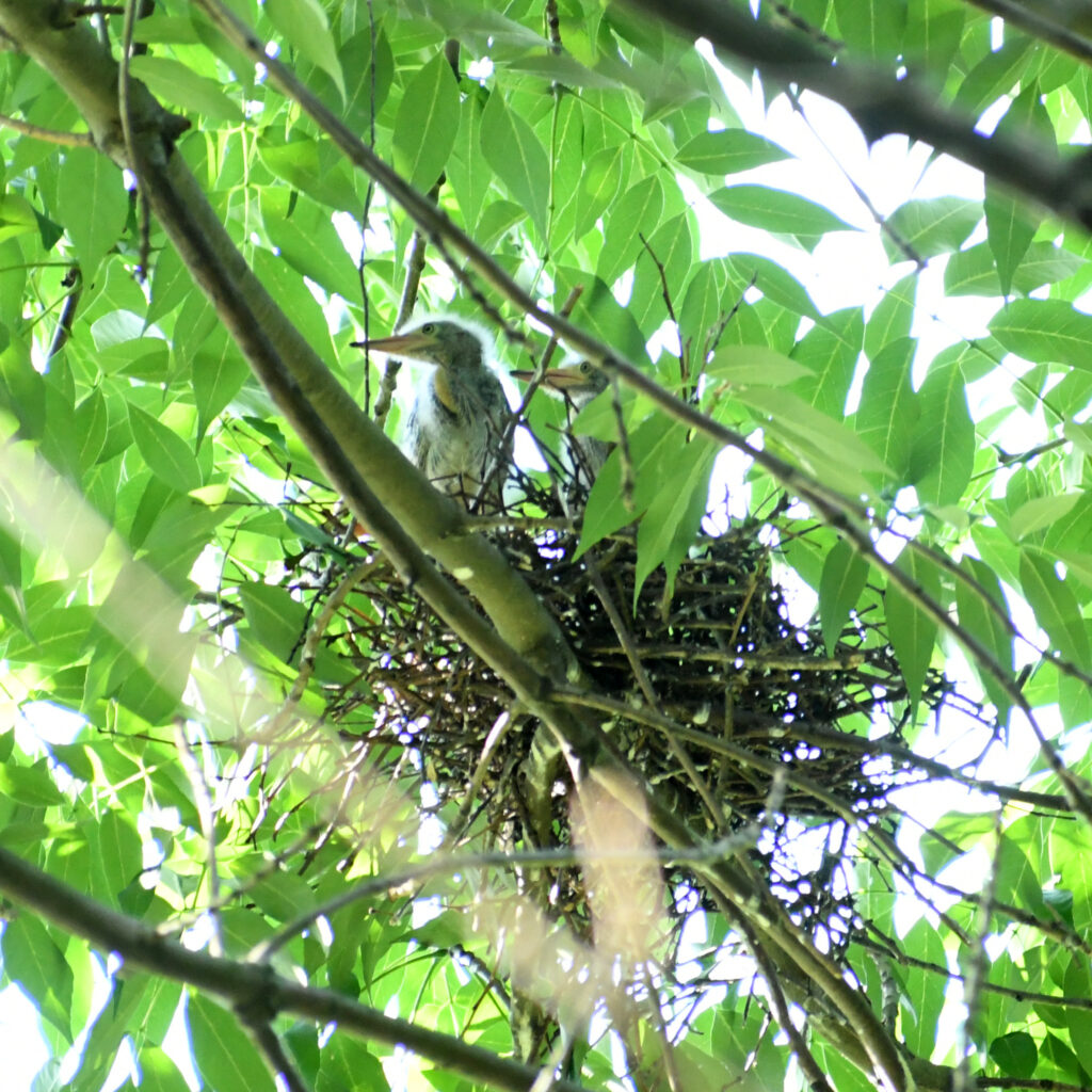 Green heron chicks in nest, Prospect Park