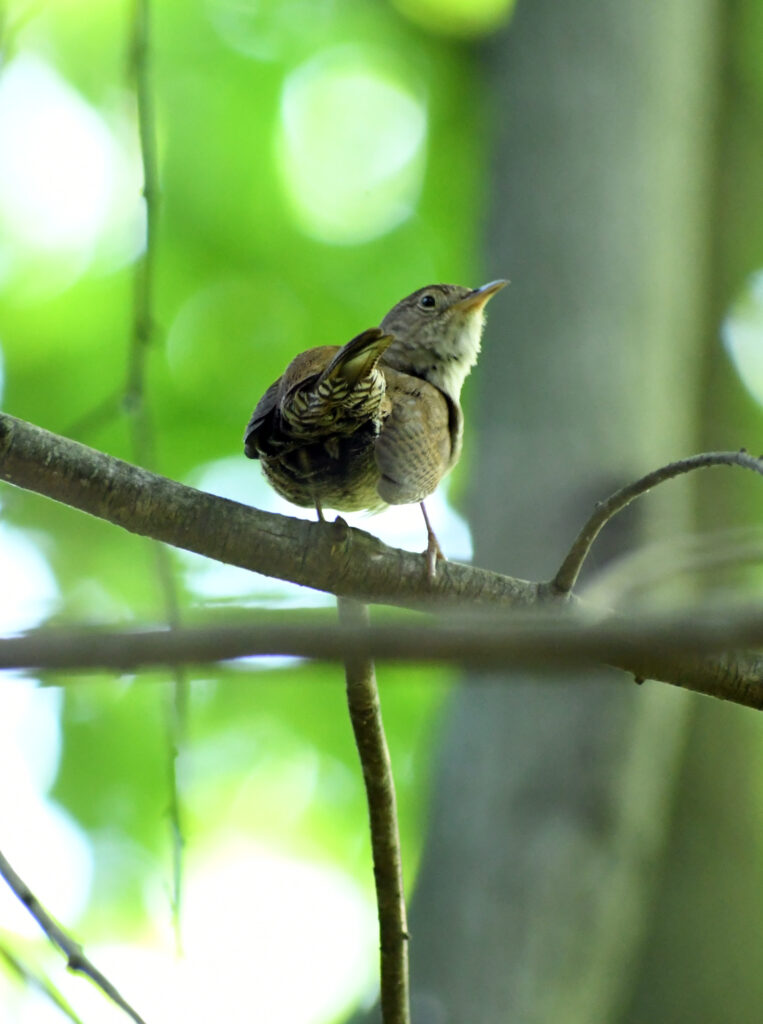 House wren, butt of, Prospect Park