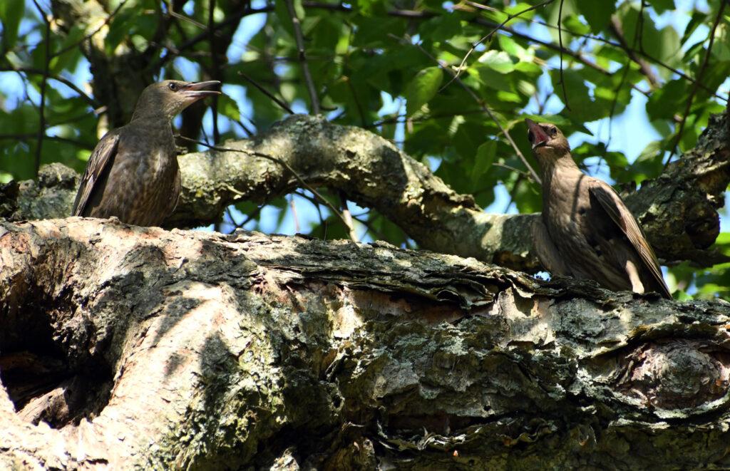 Juvenile starlings, bickering, Prospect Park