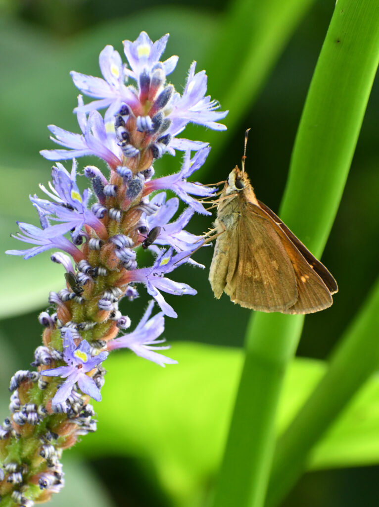 Skipper on pickerelweed, Prospect Park