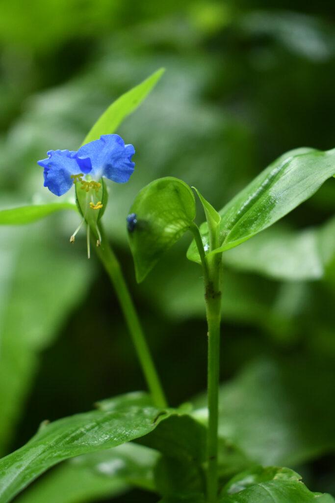 Spiderwort (Asiatic dayflower), Prospect Park