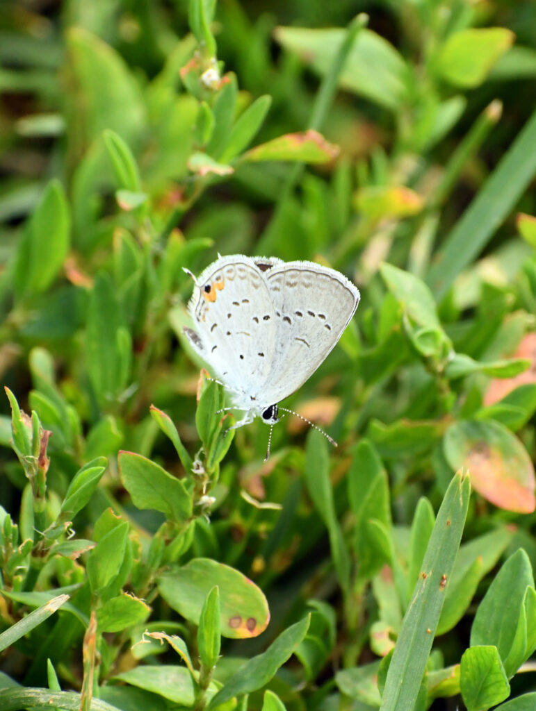 Eastern tailed blue butterfly, Prospect Park